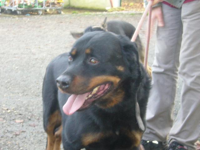ESPARO Rottweiler mâle 6 ans (SPA Angoulême 16) Esparo11