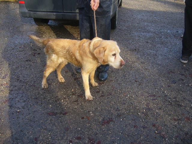 URGENCE TURBO Labrador sable 2CER537 P1140819
