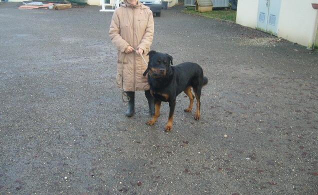 ESPARO Rottweiler mâle 6 ans (SPA Angoulême 16) P1140910