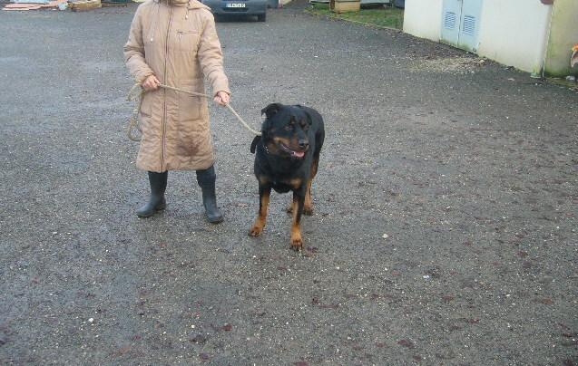 ESPARO Rottweiler mâle 6 ans (SPA Angoulême 16) P1140911