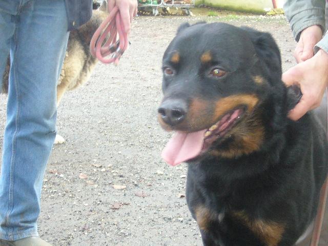 ESPARO Rottweiler mâle 6 ans (SPA Angoulême 16) P1140925