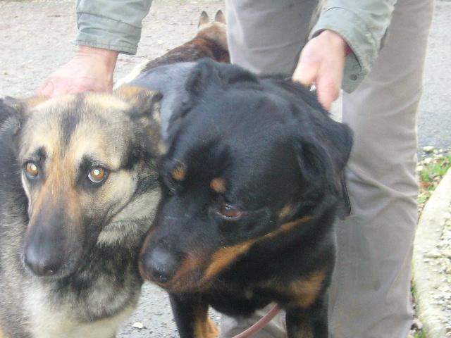 ESPARO Rottweiler mâle 6 ans (SPA Angoulême 16) P1140926
