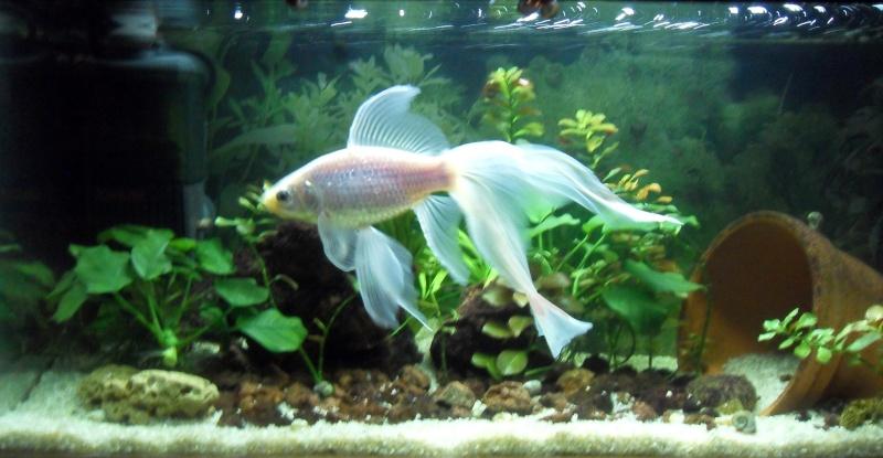 URGENT poisson rouge malade 05_nov10