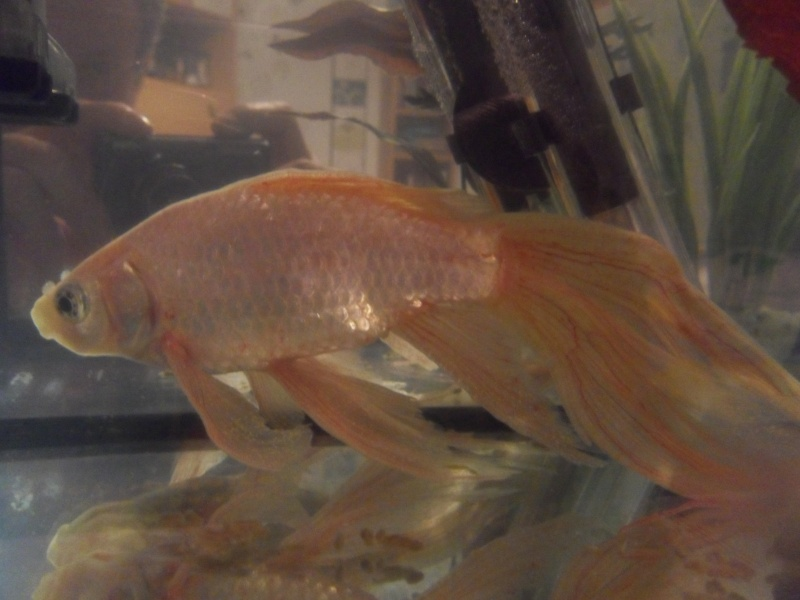 URGENT poisson rouge malade Sdc18910