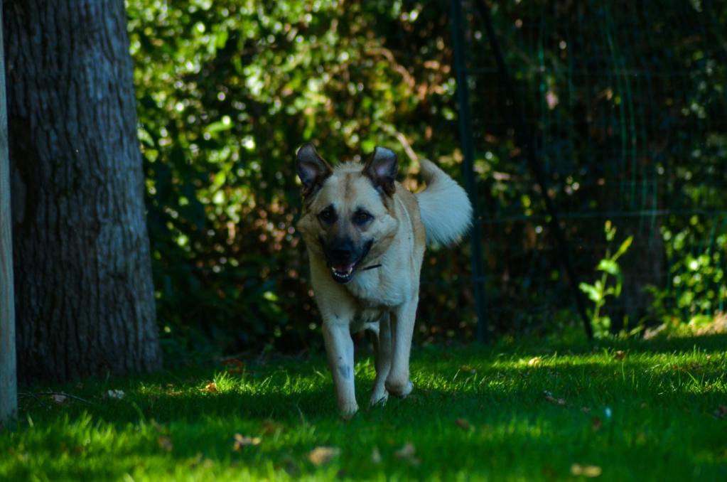 Django - mâle labrador x berger (01/01/2016) Dsc_0812