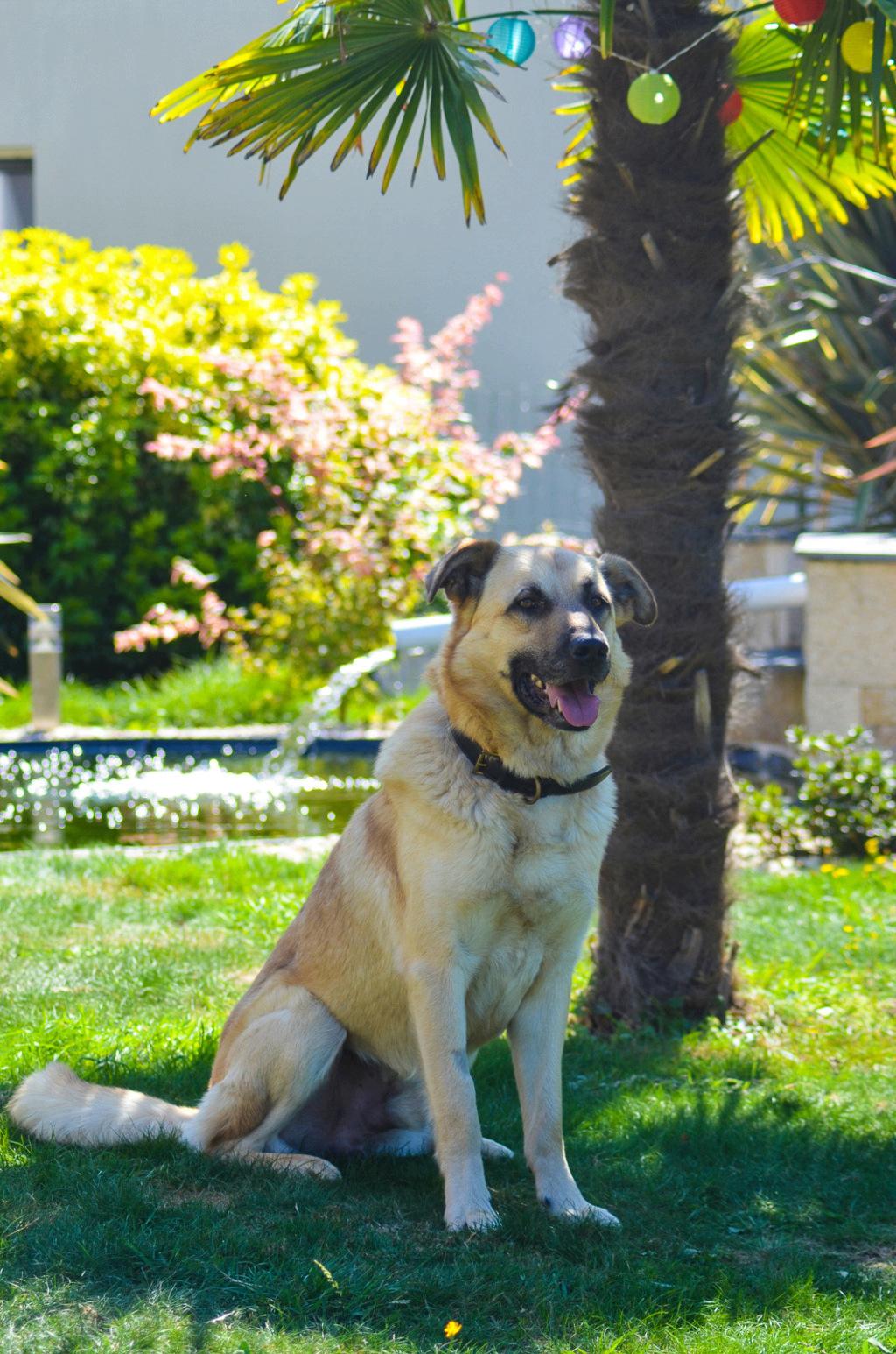 Django - mâle labrador x berger (01/01/2016) Dsc_0814