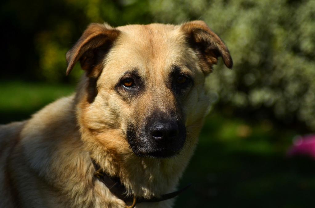 Django - mâle labrador x berger (01/01/2016) Dsc_0818