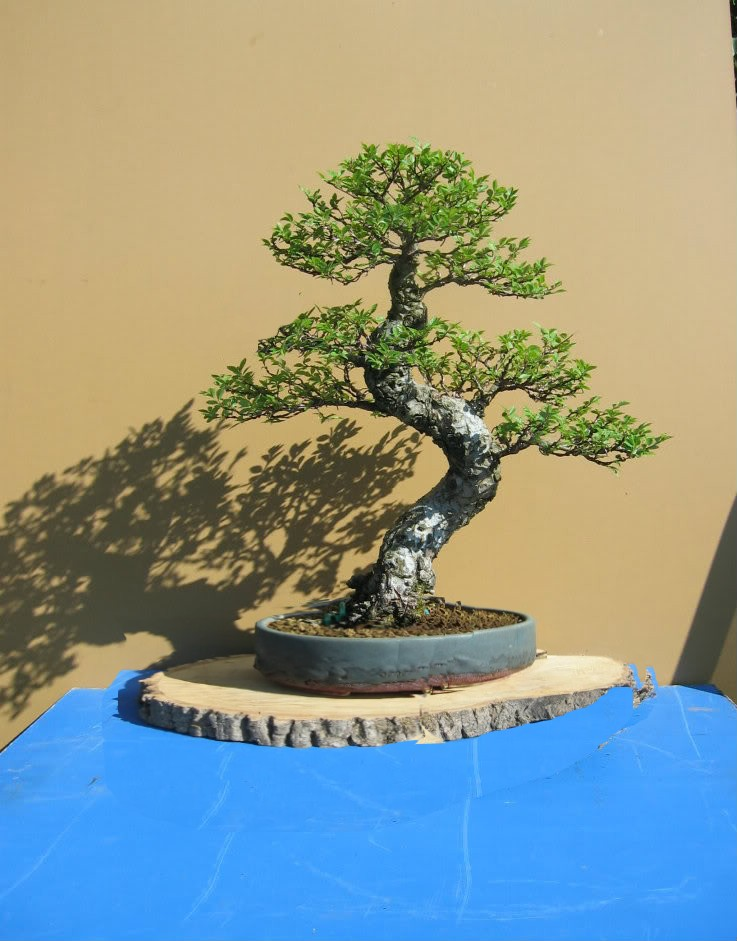 Chinese elm Elm10