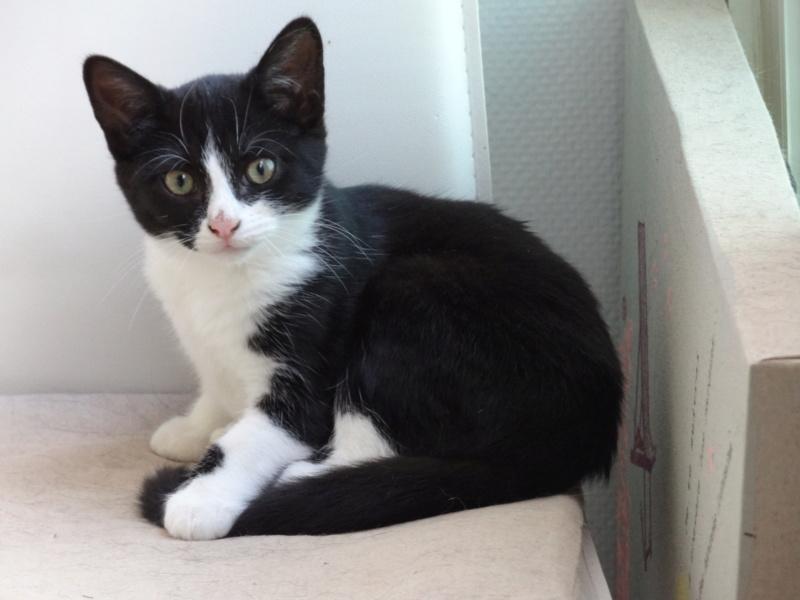 Athena - chatonne noire & blanche - 2/3 mois Dsc04125