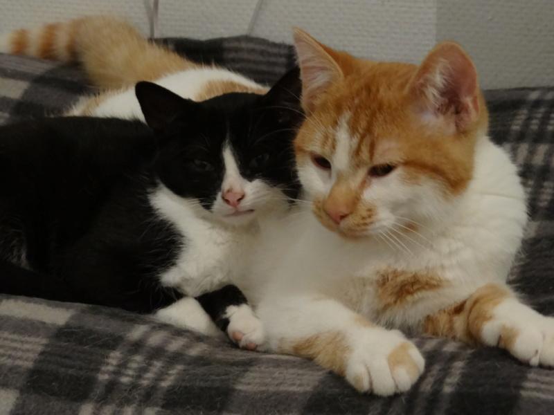 Athena - chatonne noire & blanche - 2/3 mois Dsc04126