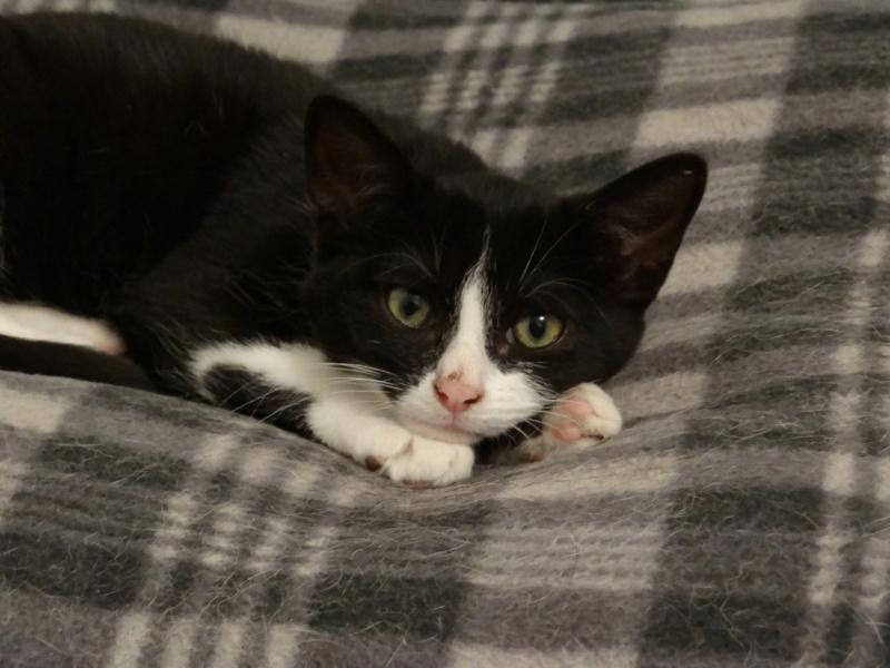 Athena - chatonne noire & blanche - 2/3 mois Dsc04127