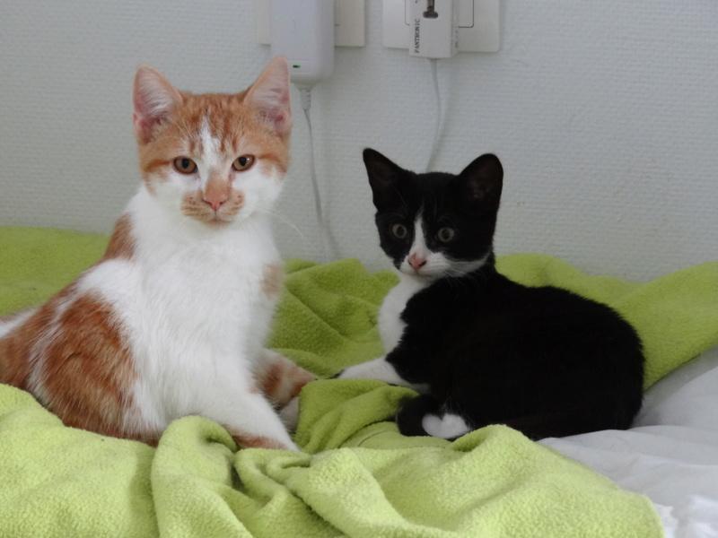 Athena - chatonne noire & blanche - 2/3 mois Oliver10