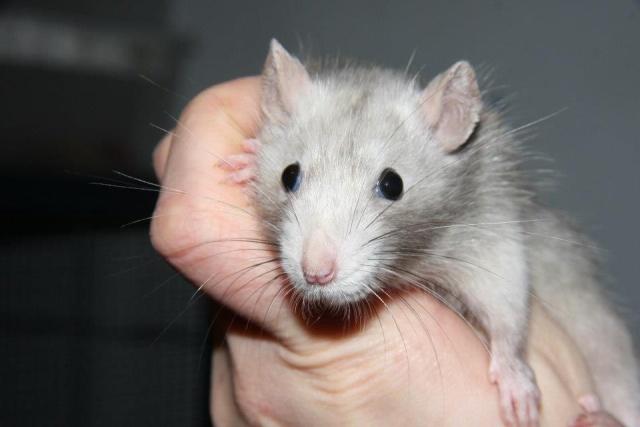 Reprendre un rat ? 94196610