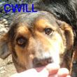 SERBIE - chiens prêts à rentrer (refuge de Bella et pensions) Cwill_11