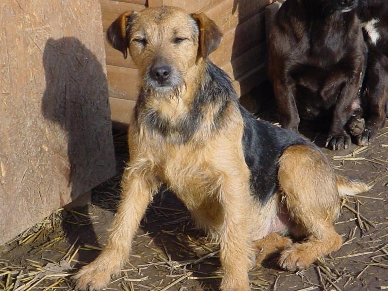 KAYAN, M-X fox terrier,  taille moyenne, né 2009 (Etela) - Pris en charge SPA Morée Kayan_10