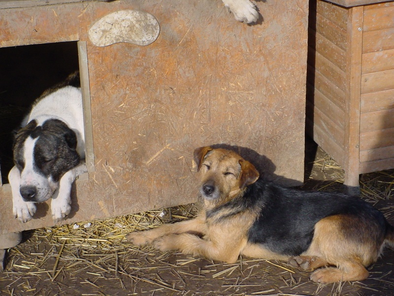 KAYAN, M-X fox terrier,  taille moyenne, né 2009 (Etela) - Pris en charge SPA Morée Kayan_12