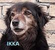 SERBIE - chiens prêts à rentrer (refuge de Bella et pensions) P-ikka10