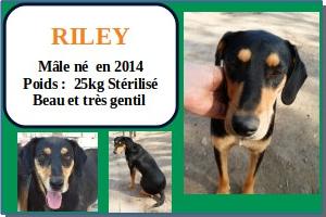 SERBIE - chiens prêts à rentrer (refuge de Bella et pensions) Riley10