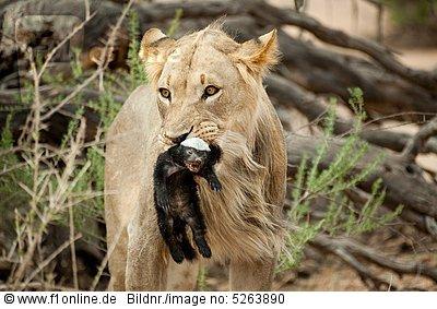 Ratel ou Texugo do Mel (Mellivora capensis) 52638910