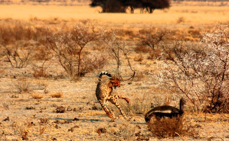 Ratel ou Texugo do Mel (Mellivora capensis) Bild_210