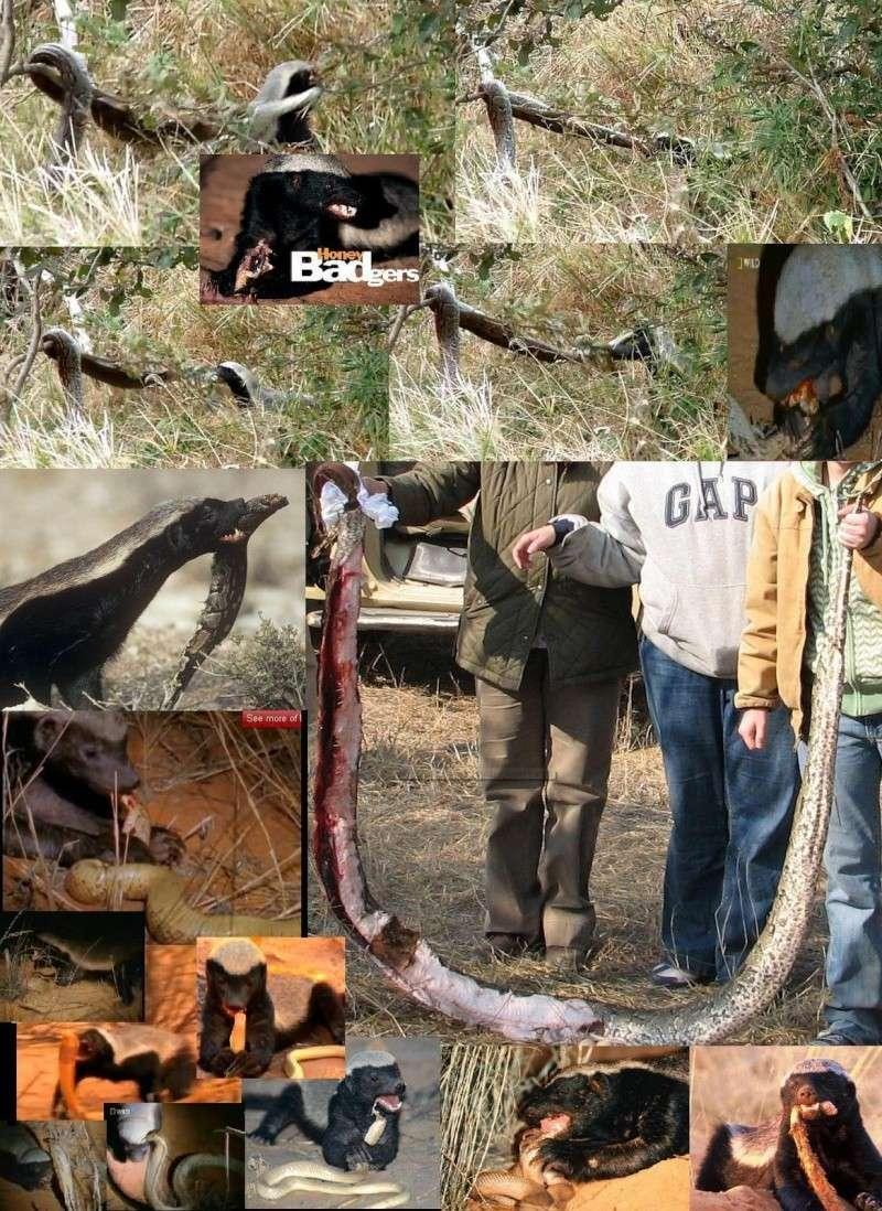 Ratel ou Texugo do Mel (Mellivora capensis) Imagem14
