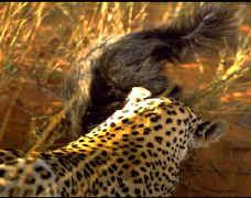 Ratel ou Texugo do Mel (Mellivora capensis) Leopar13
