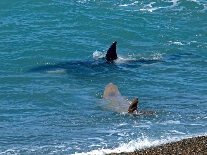 Orca x Elefante Marinho Miroun10