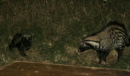 Ratel ou Texugo do Mel (Mellivora capensis) Ratel_10