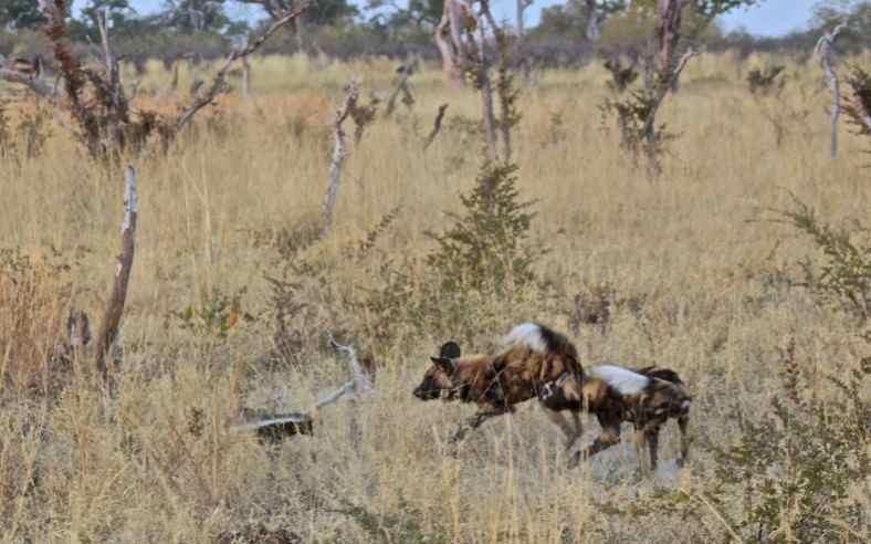 Ratel ou Texugo do Mel (Mellivora capensis) Wild-d11