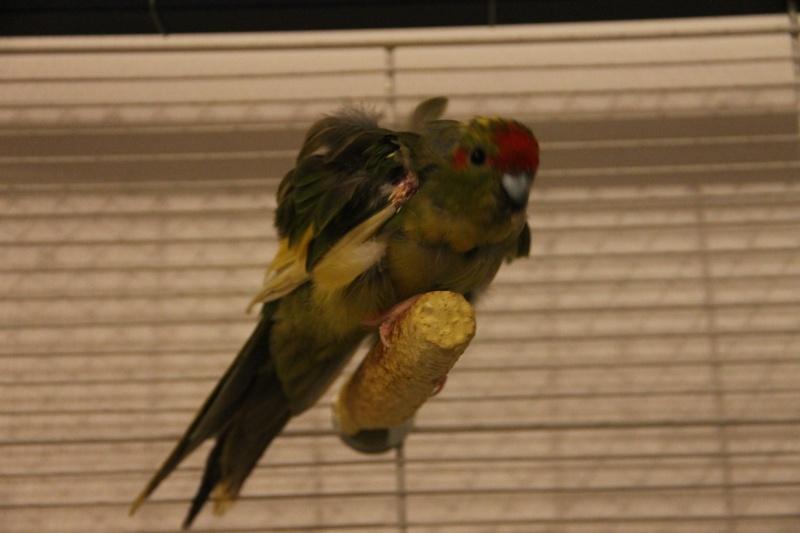 Femelle Kakariki déplumée mue+reproduction 23-12-10
