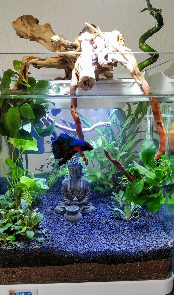 20L aquaponique / Betta Splendes Xx11