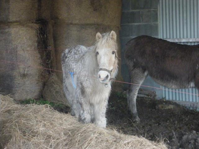 FLAMBY - ONC poney présumé né en 1987 - accueilli en décembre 2012 chez Pech-Petit  - Page 2 Imgp3725