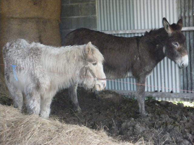 FLAMBY - ONC poney présumé né en 1987 - accueilli en décembre 2012 chez Pech-Petit  - Page 2 Imgp3726