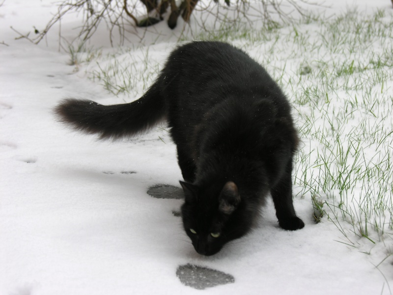 Perdu HELMO chat noir à 35830 BETTON (AVRIL 2013) 2013_011