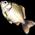L'étang à poissons [Dans le jardin fermier et aquatique] Tilapi10