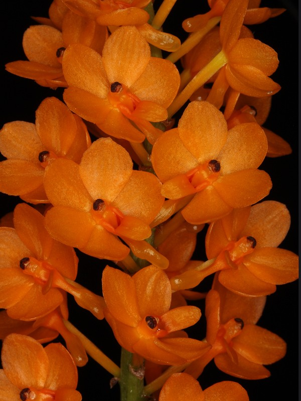 Ascocentrum miniatum 'Kai Gold' Ascoce10