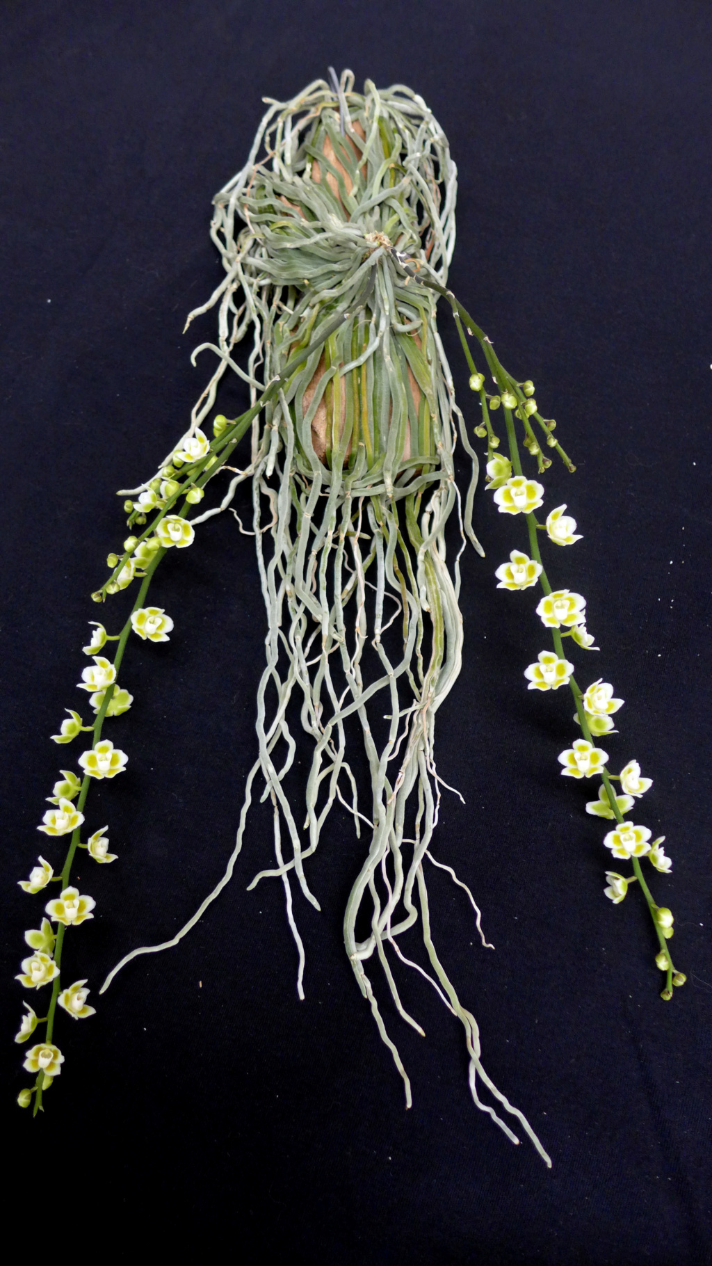 Chiloschista: Blattlose Orchideen  Chiloc11
