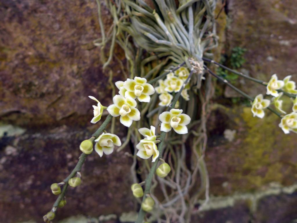 Chiloschista: Blattlose Orchideen  Chiloc13