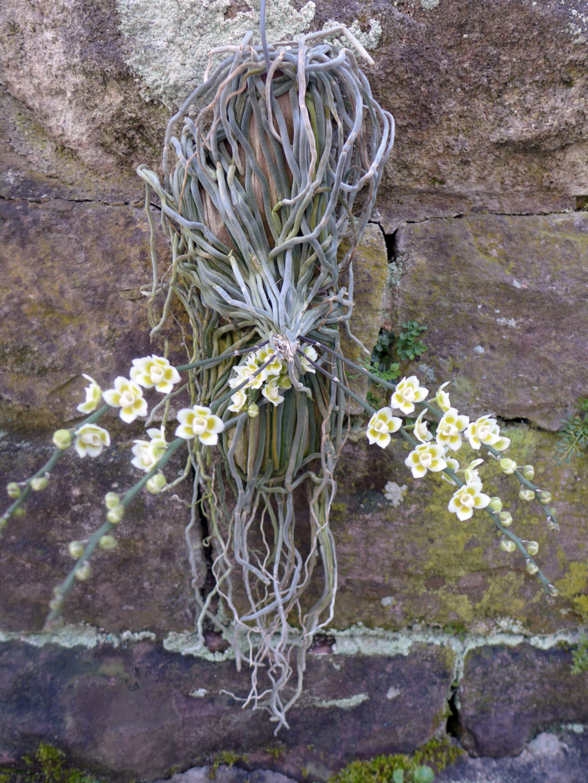 Chiloschista: Blattlose Orchideen  Chiloc14
