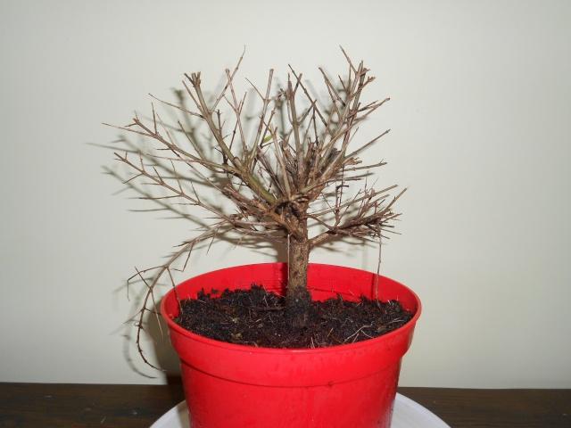 futur bonsaï ? 15_12_10