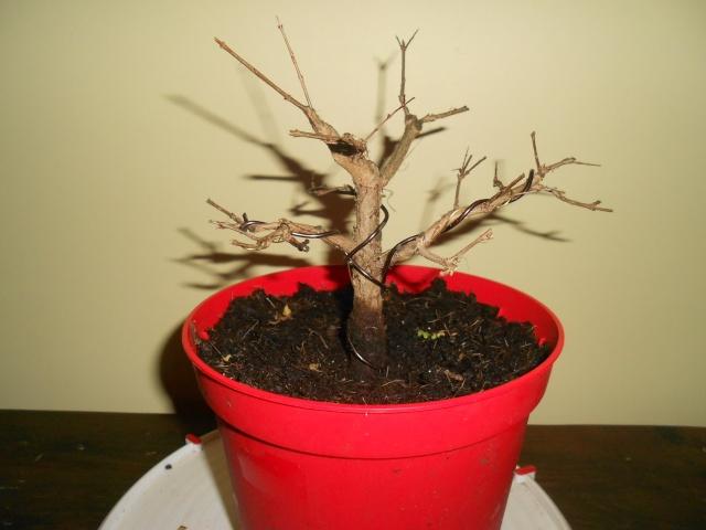 futur bonsaï ? 15_12_12