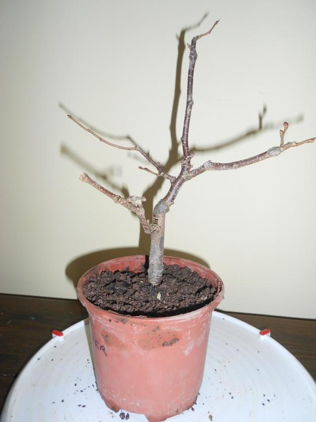 futur bonsaï ? 15_12_14