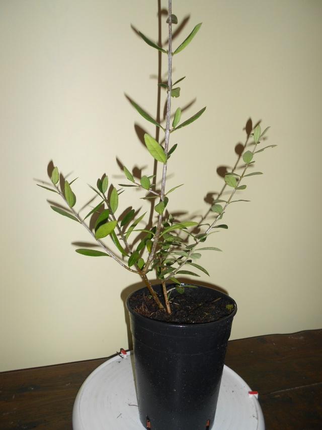 futur bonsaï ? 15_12_16