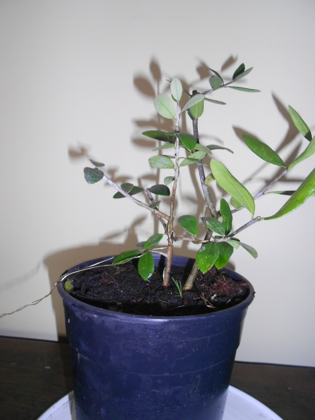 futur bonsaï ? 15_12_17