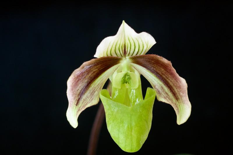 Paphiopedilum violascens - Paph. papuanum Paphio11