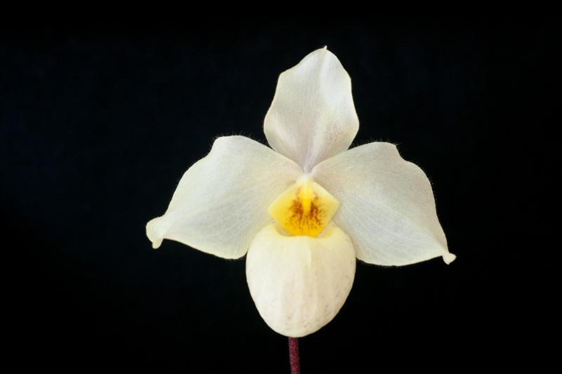 Paphiopedilum armeniacum x vietnamense Paphio12