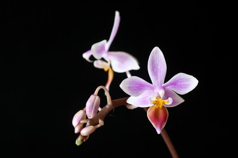Phalaenopsis equestris Phalae17