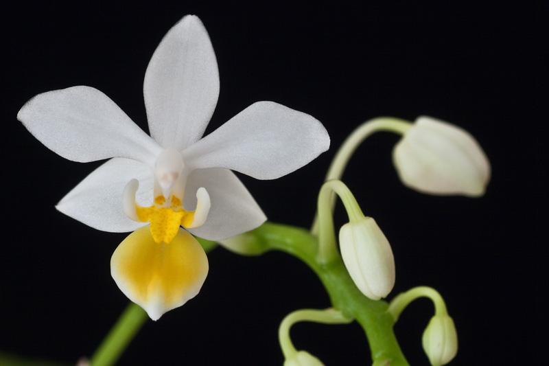 Phalaenopsis equestris Phalae18
