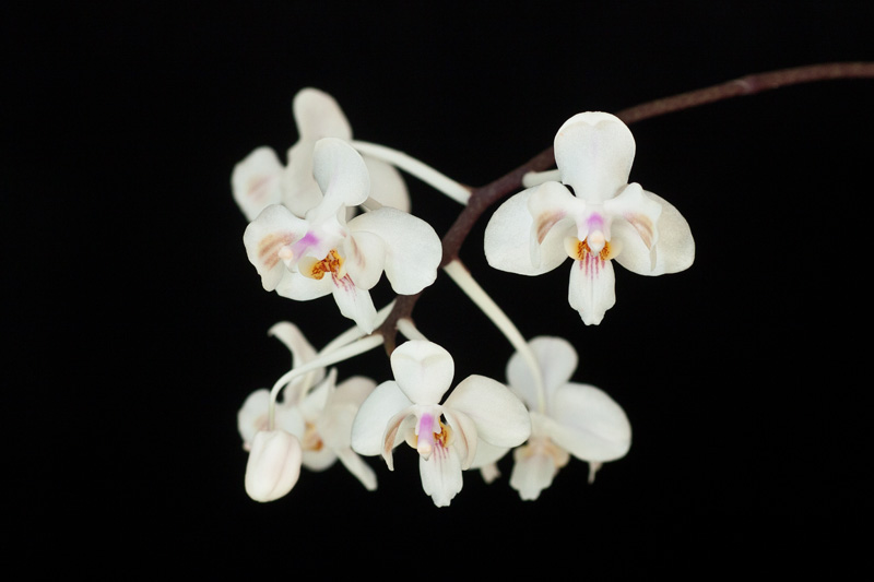 Phalaenopsis celebensis Phalae21