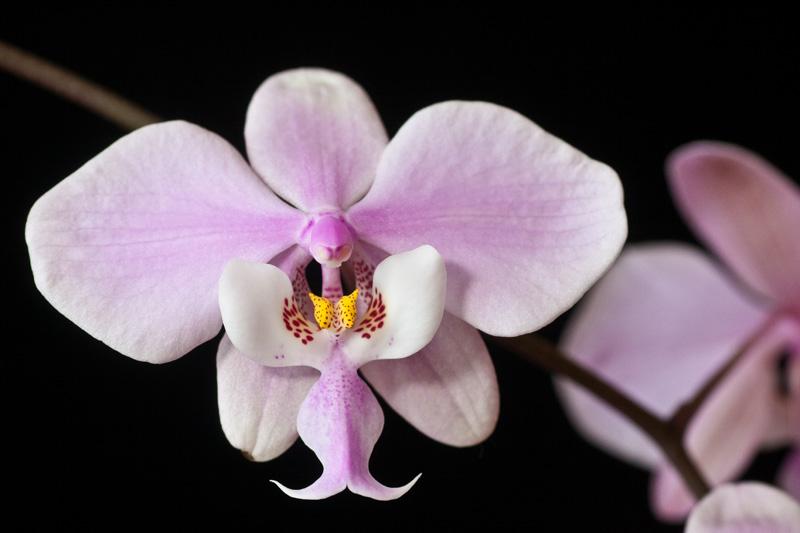 Phalaenopsis schilleriana Phalae25